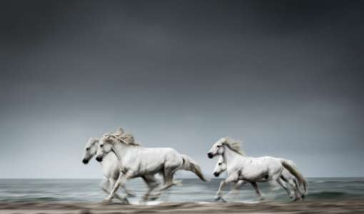 Camargue's White Horses